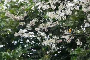 Đẹp nao lòng mùa hoa sưa nở trắng trời Hà Nội