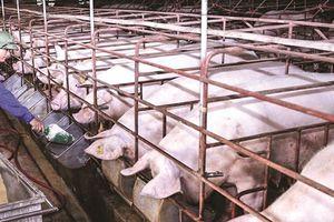Giá lợn hơi hôm nay 30/4: Tiếp tục giảm từ 1.000 đến 2.000 đồng/kg tại một số địa phương