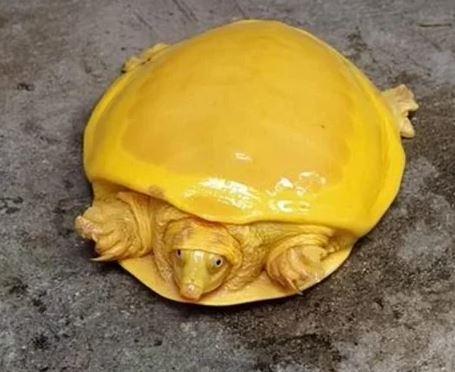 Rùa vàng cực hiếm 'hiển linh' ở Ấn Độ Ảnh 2