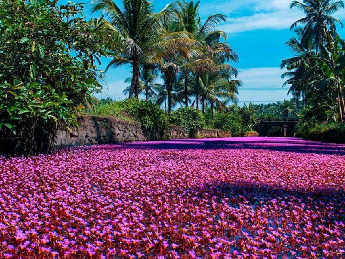 Dòng sông 'hồng' đầy mộng mơ ở ngôi làng Kerala Ảnh 3