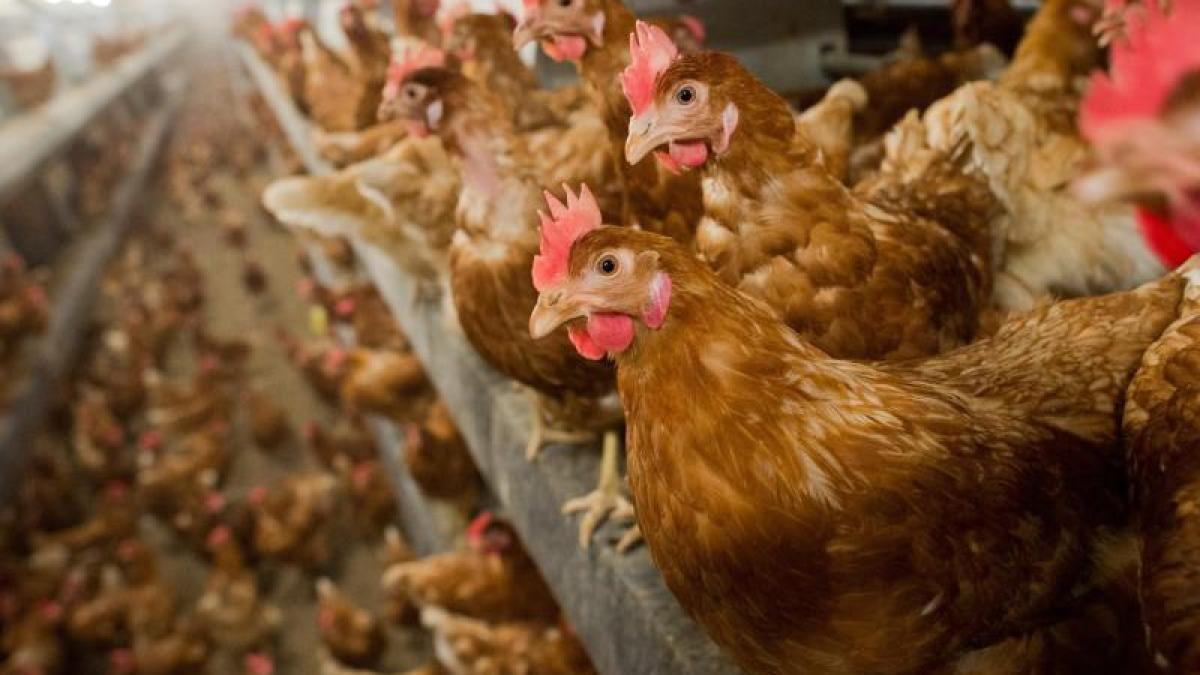 Đức tiêu hủy 29.000 con gà sau khi phát hiện một ổ dịch cúm gia cầm H5N8 Ảnh 1