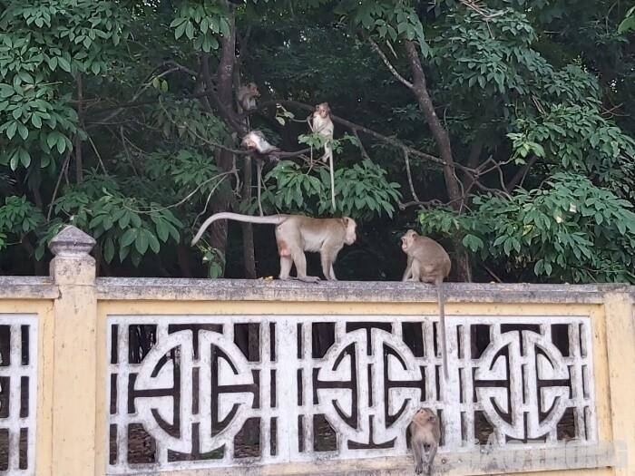 Di dời đàn khỉ ở Tây Ninh về với rừng bằng cách nào? Ảnh 1