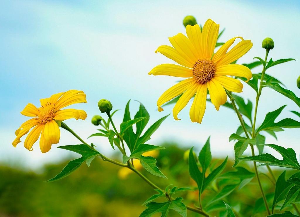 Hoa Dã quỳ nhuộm vàng núi rừng Điện Biên Ảnh 2
