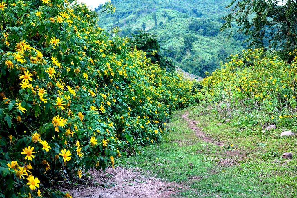 Hoa Dã quỳ nhuộm vàng núi rừng Điện Biên Ảnh 1