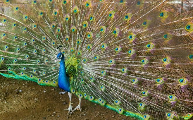 Thuần hóa chim công bằng nước muối, bán tới 80 triệu đồng 1 trống 3 mái Ảnh 2