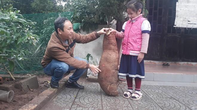 Phát hiện củ sắn to bằng trẻ em ở Thừa Thiên - Huế Ảnh 1