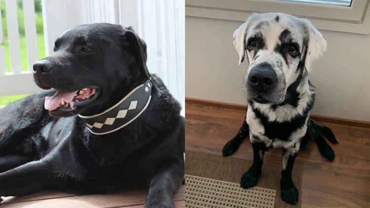 Chú chó kỳ lạ có bộ lông chuyển màu từ đen sang trắng Ảnh 1
