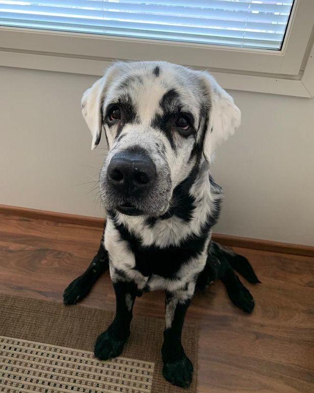 Chú chó kỳ lạ có bộ lông chuyển màu từ đen sang trắng Ảnh 4