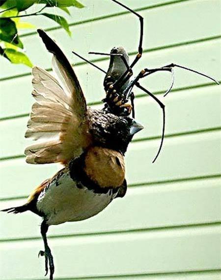 Sốc khi nhìn thấy nhện khổng lồ ăn thịt chim Ảnh 1