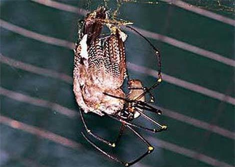 Sốc khi nhìn thấy nhện khổng lồ ăn thịt chim Ảnh 3
