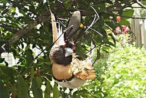 Sốc khi nhìn thấy nhện khổng lồ ăn thịt chim Ảnh 2