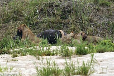 Trước khi bỏ mạng, trâu rừng khiến sư tử nhận đòn đau Ảnh 5