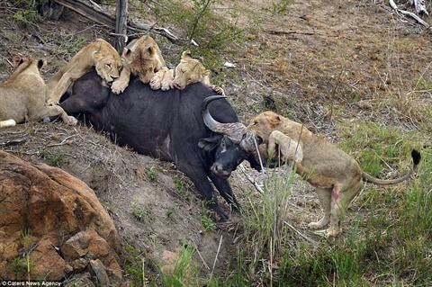 Trước khi bỏ mạng, trâu rừng khiến sư tử nhận đòn đau Ảnh 4