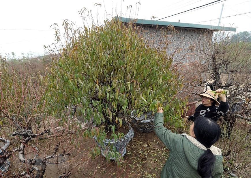 Người trồng đào Nhật Tân tất bật chuẩn bị trước Tết Nguyên đán 2021 Ảnh 9