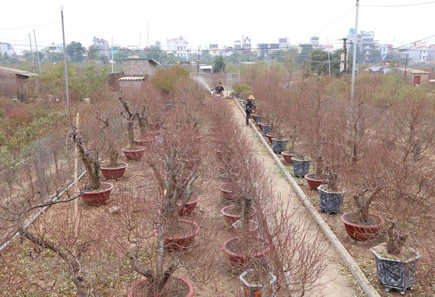 Người trồng đào Nhật Tân tất bật chuẩn bị trước Tết Nguyên đán 2021 Ảnh 5