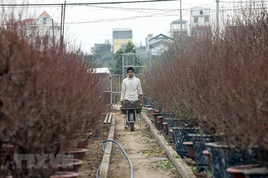 Người trồng đào Nhật Tân tất bật chuẩn bị trước Tết Nguyên đán 2021 Ảnh 8