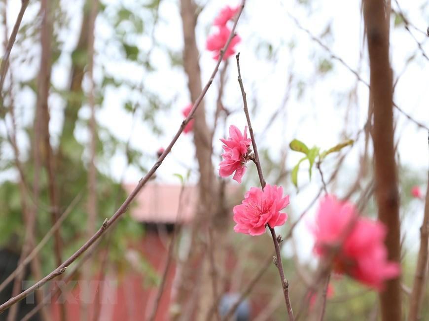 Người trồng đào Nhật Tân tất bật chuẩn bị trước Tết Nguyên đán 2021 Ảnh 7