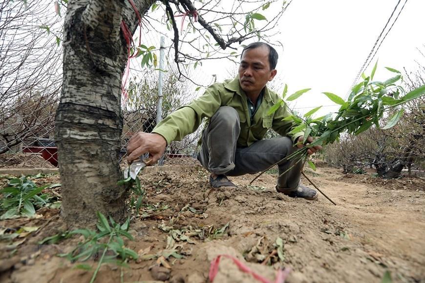 Người trồng đào Nhật Tân tất bật chuẩn bị trước Tết Nguyên đán 2021 Ảnh 10