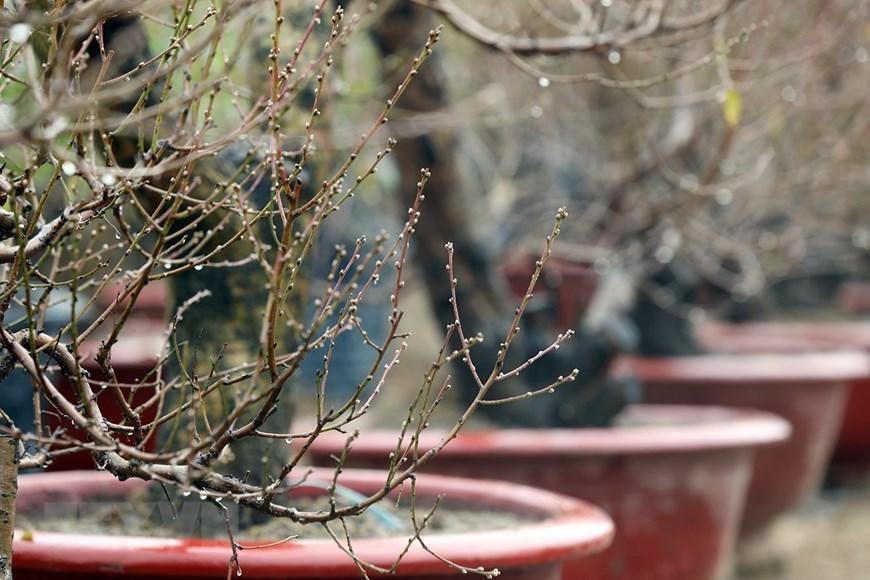 Người trồng đào Nhật Tân tất bật chuẩn bị trước Tết Nguyên đán 2021 Ảnh 3