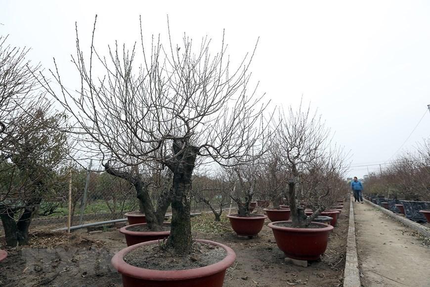 Người trồng đào Nhật Tân tất bật chuẩn bị trước Tết Nguyên đán 2021 Ảnh 2