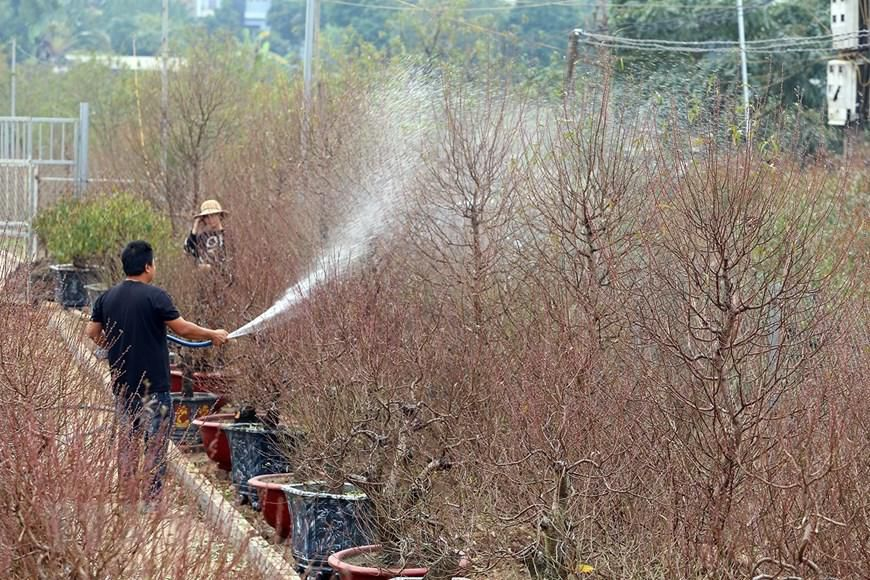 Người trồng đào Nhật Tân tất bật chuẩn bị trước Tết Nguyên đán 2021 Ảnh 6