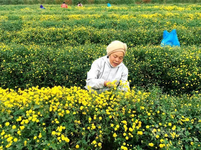 Thảm hoa vàng rực ở Hưng Yên, nhanh tay thu hái gom về tiền tỷ Ảnh 2