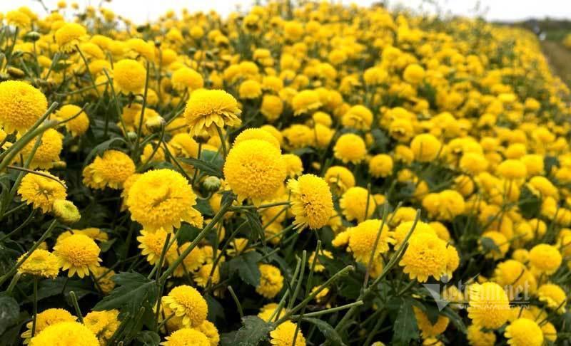 Thảm hoa vàng rực ở Hưng Yên, nhanh tay thu hái gom về tiền tỷ Ảnh 15