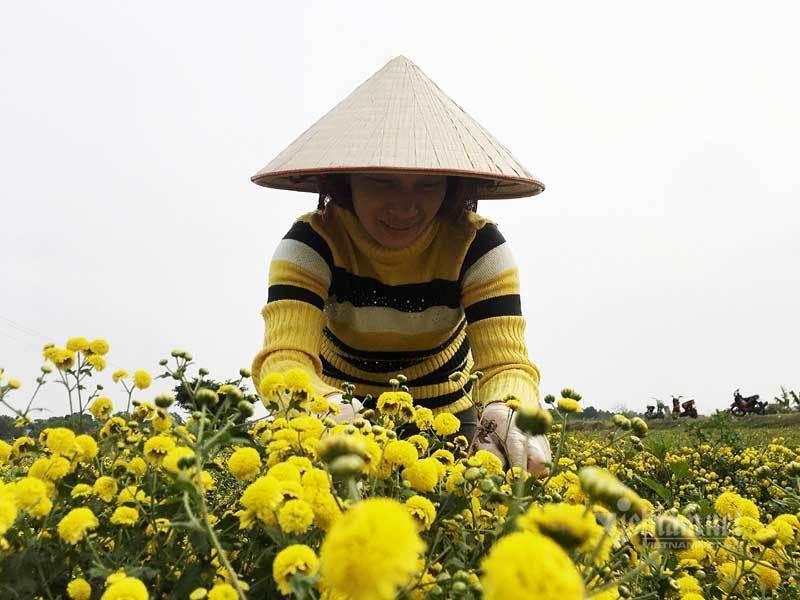 Thảm hoa vàng rực ở Hưng Yên, nhanh tay thu hái gom về tiền tỷ Ảnh 6