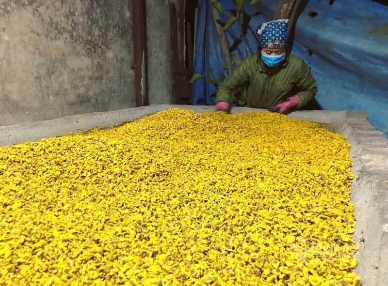 Thảm hoa vàng rực ở Hưng Yên, nhanh tay thu hái gom về tiền tỷ Ảnh 12