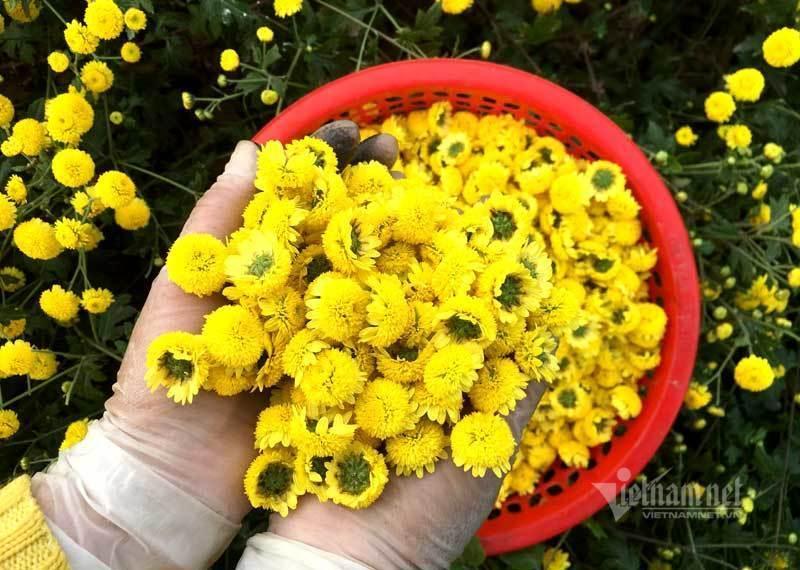 Thảm hoa vàng rực ở Hưng Yên, nhanh tay thu hái gom về tiền tỷ Ảnh 9