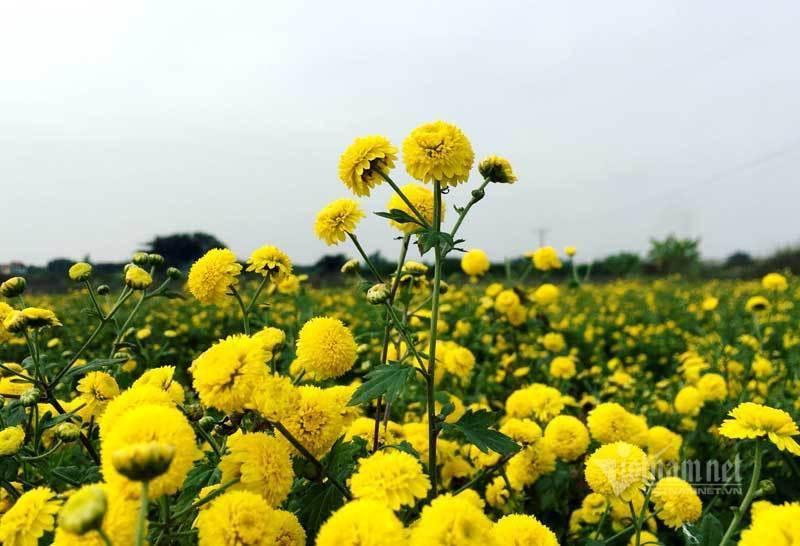 Thảm hoa vàng rực ở Hưng Yên, nhanh tay thu hái gom về tiền tỷ Ảnh 1
