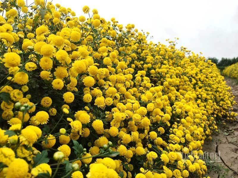 Thảm hoa vàng rực ở Hưng Yên, nhanh tay thu hái gom về tiền tỷ Ảnh 4