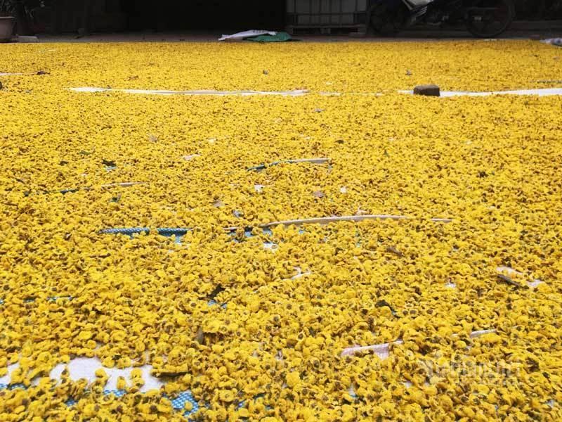 Thảm hoa vàng rực ở Hưng Yên, nhanh tay thu hái gom về tiền tỷ Ảnh 11