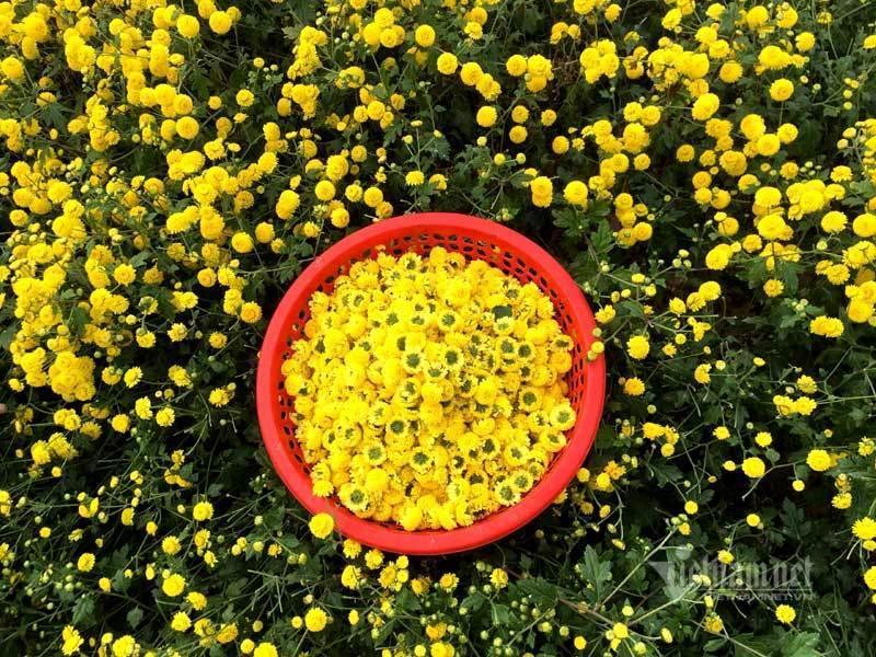 Thảm hoa vàng rực ở Hưng Yên, nhanh tay thu hái gom về tiền tỷ Ảnh 8