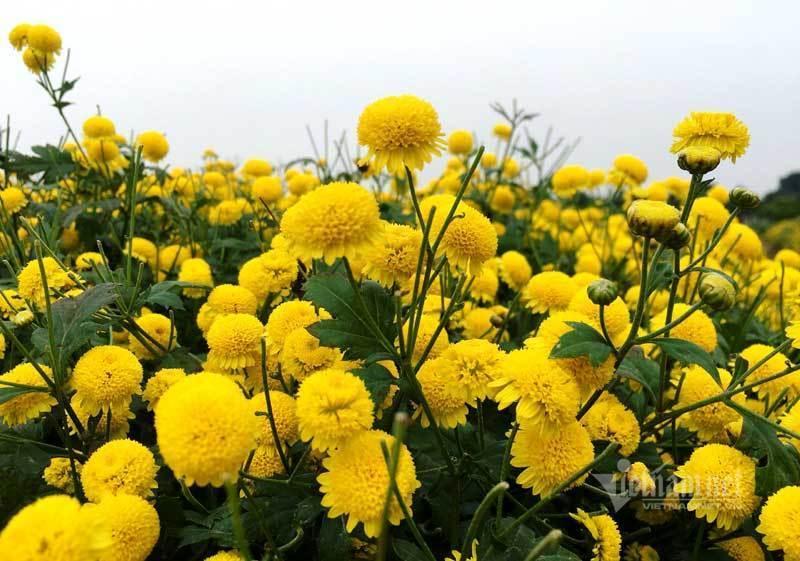 Thảm hoa vàng rực ở Hưng Yên, nhanh tay thu hái gom về tiền tỷ Ảnh 3