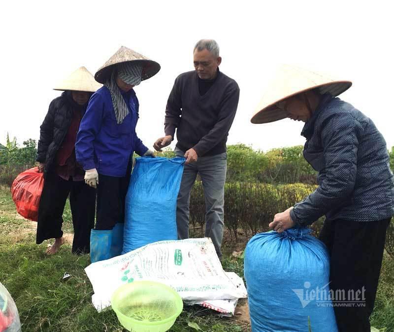 Thảm hoa vàng rực ở Hưng Yên, nhanh tay thu hái gom về tiền tỷ Ảnh 10