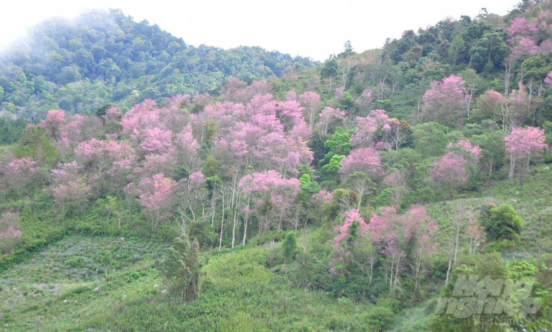 Tết dương lịch, du khách ùn ùn lên núi Langbiang ngắm mai anh đào Ảnh 8