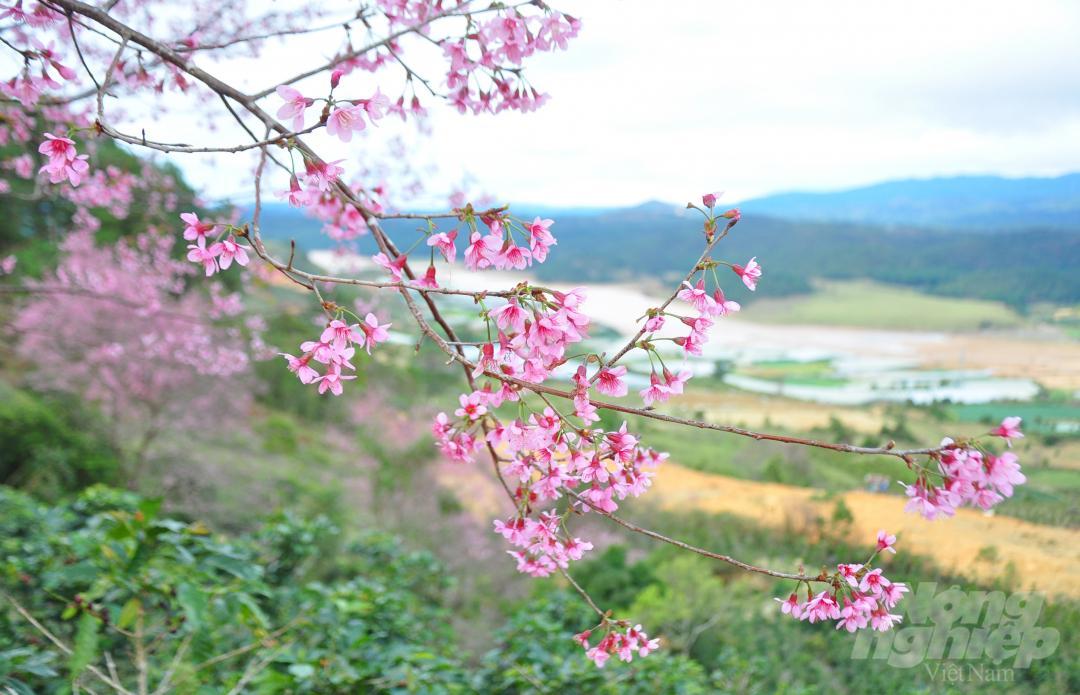 Tết dương lịch, du khách ùn ùn lên núi Langbiang ngắm mai anh đào Ảnh 11
