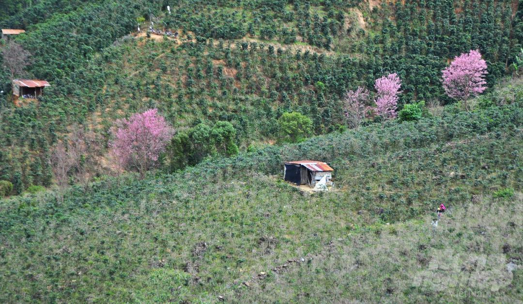 Tết dương lịch, du khách ùn ùn lên núi Langbiang ngắm mai anh đào Ảnh 13