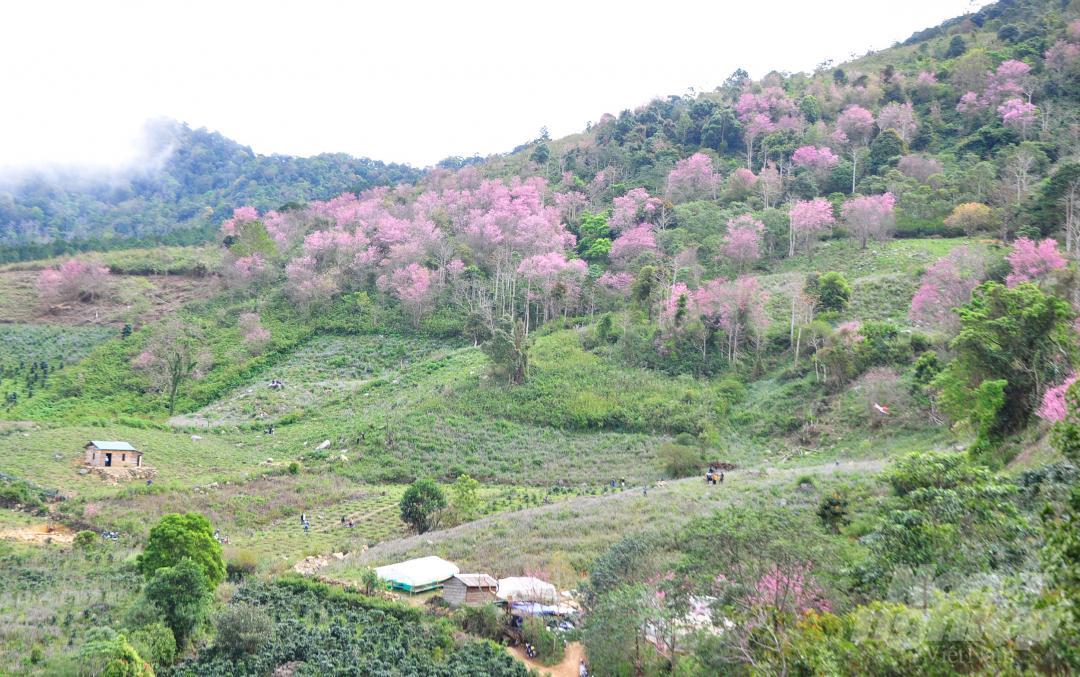 Tết dương lịch, du khách ùn ùn lên núi Langbiang ngắm mai anh đào Ảnh 1