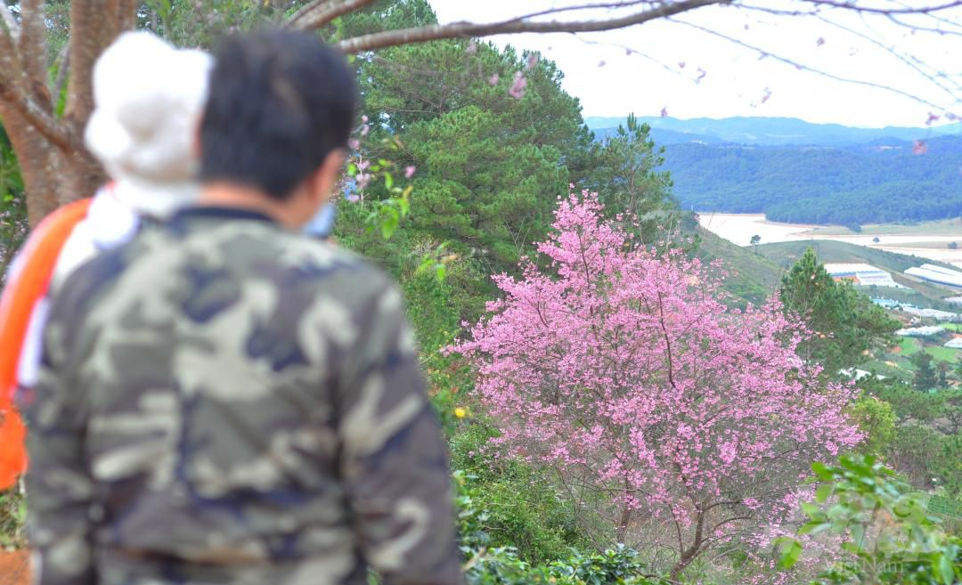 Tết dương lịch, du khách ùn ùn lên núi Langbiang ngắm mai anh đào Ảnh 6