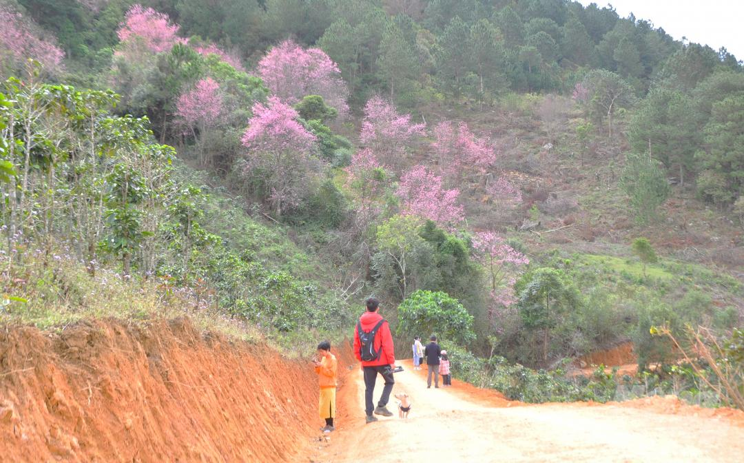 Tết dương lịch, du khách ùn ùn lên núi Langbiang ngắm mai anh đào Ảnh 9
