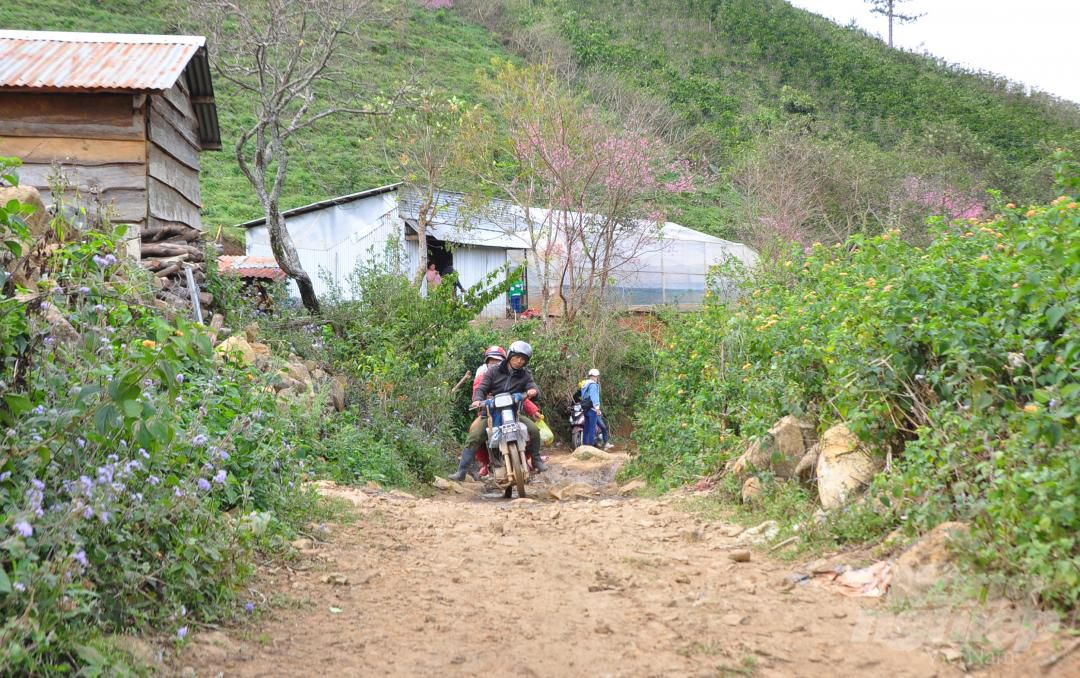 Tết dương lịch, du khách ùn ùn lên núi Langbiang ngắm mai anh đào Ảnh 2