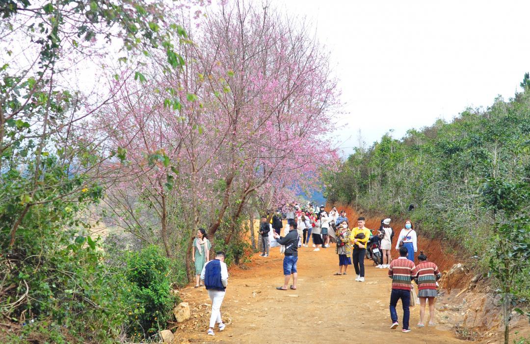 Tết dương lịch, du khách ùn ùn lên núi Langbiang ngắm mai anh đào Ảnh 3