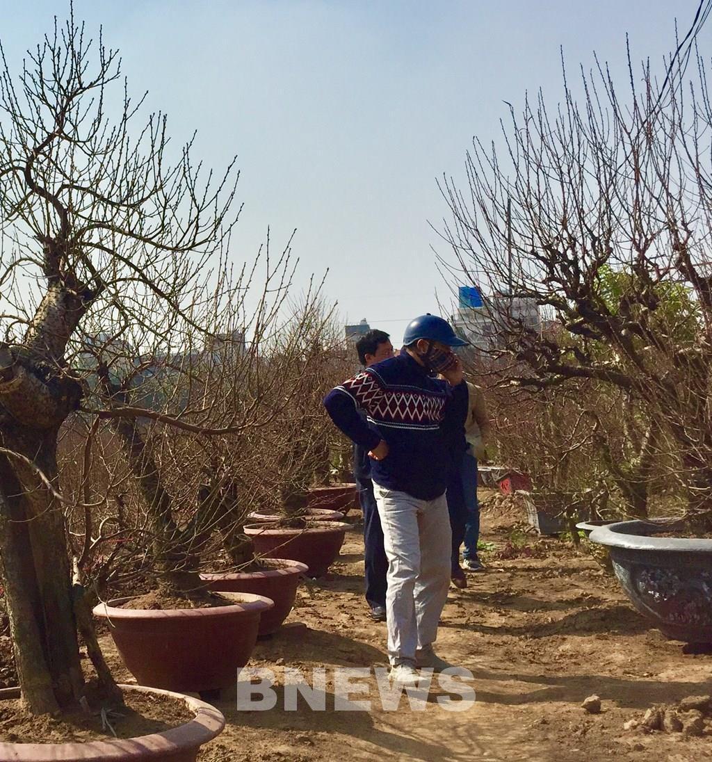 Làng đào Nhật Tân vào mùa tuốt lá Ảnh 7