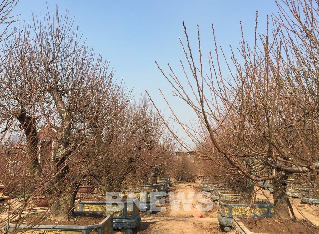 Làng đào Nhật Tân vào mùa tuốt lá Ảnh 6