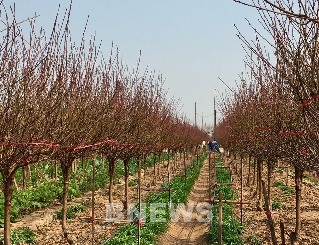 Làng đào Nhật Tân vào mùa tuốt lá Ảnh 1