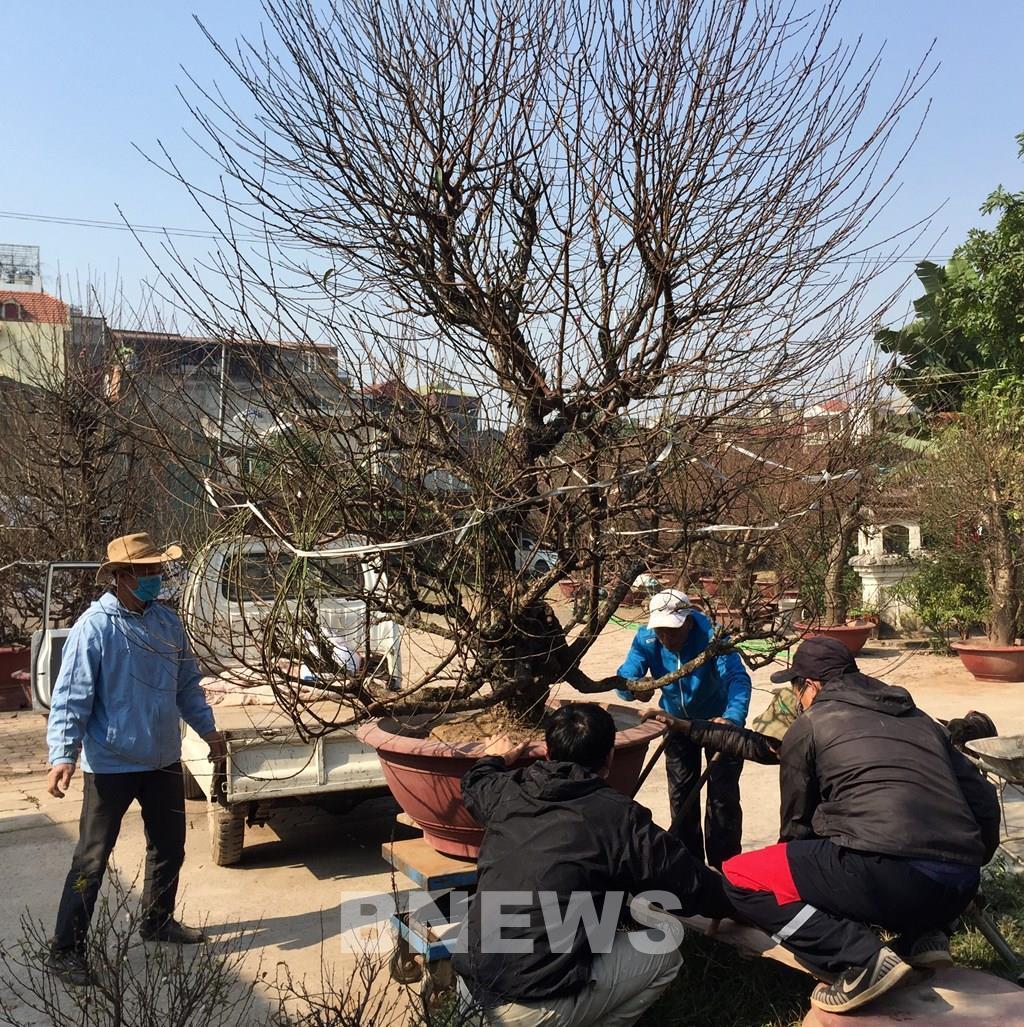 Làng đào Nhật Tân vào mùa tuốt lá Ảnh 8