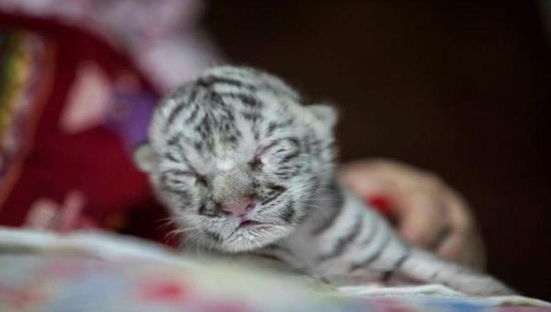 Hổ trắng quý hiếm sinh ra tại vườn thú Nicaragua Ảnh 1
