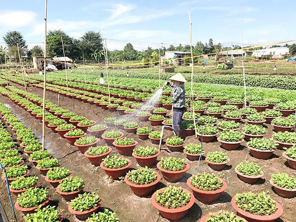 Diện tích trồng rau, hoa tăng mạnh mùa Tết Ảnh 1